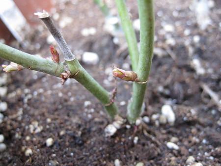 ミニバラの芽ぶき