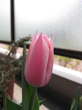 チューリップ・サンネ(4/28)