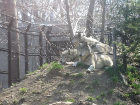 シンリンオオカミ一家