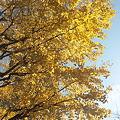 写真: 111210 (2) 黄葉