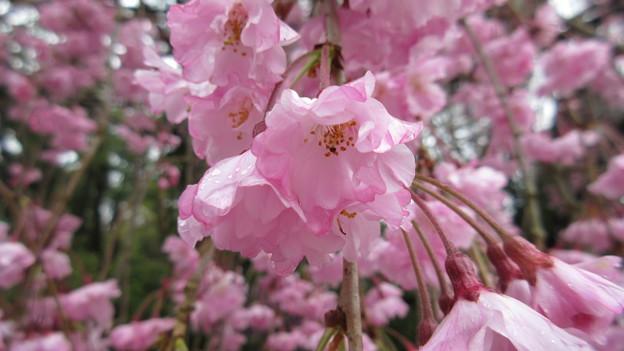 15.04.07.賀茂別雷神社(上賀茂神社。京都市北区)