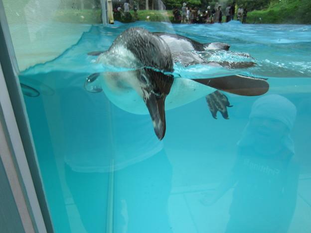 フンボルトペンギン (8)