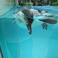 Photos: フンボルトペンギン (8)