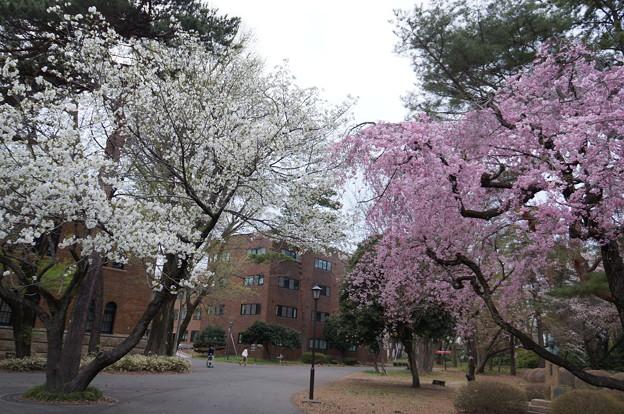 一橋大学 桜