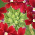 写真: 紅色の花