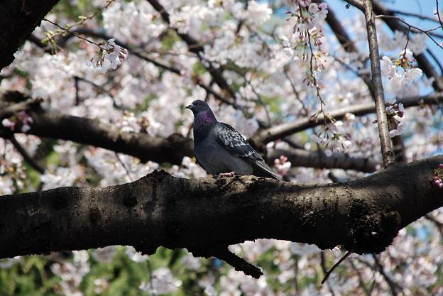 写真: 桜と鳩