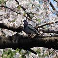 Photos: 桜と鳩