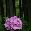 ~竹林の紫陽花~