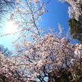 写真: ~桜日和~