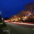 Photos: ~夜桜Road~