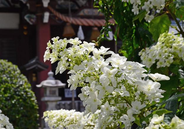 柏葉紫陽花 (C0187)