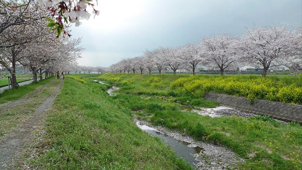 Photos: 筑前町草場川の桜並木(2)