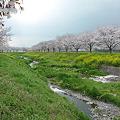 筑前町草場川の桜並木(2)