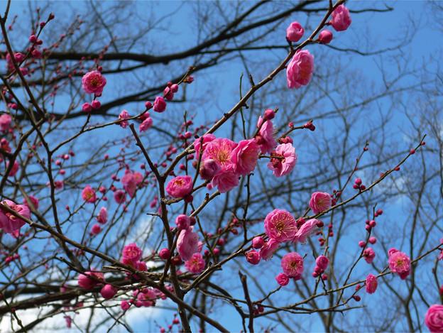 Photos: まだ早い舞鶴公園の梅(4)