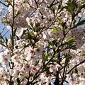 散り始めの桜