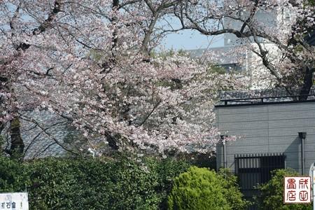 高橋屋さんの桜01