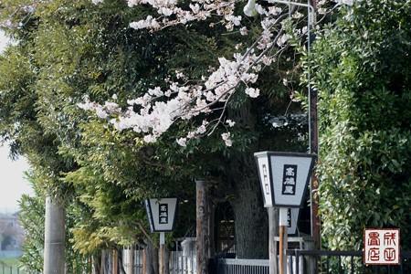 高橋屋さんの桜03