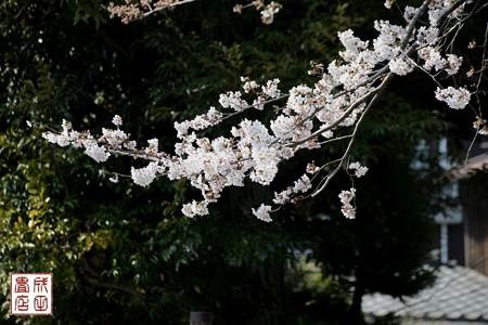高橋屋さんの桜04