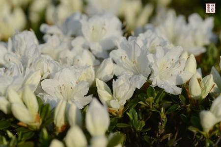 白い花02