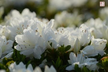 白い花04