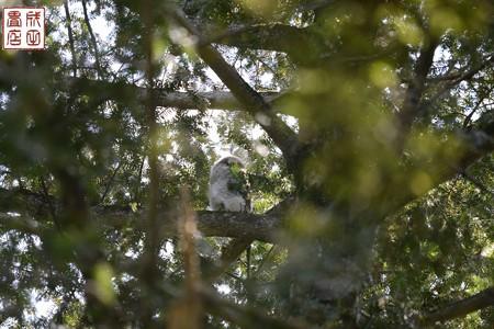 フクロウのヒナ01