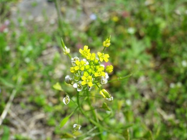 150418-6 小さい黄色い花と白い花 ナズナ?