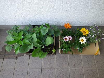 150429-1 家庭菜園の野菜と花の苗