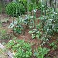 Photos: 150603-10 家庭菜園