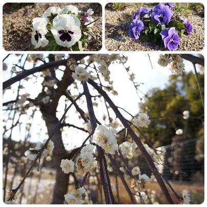 20120325 季節のお花