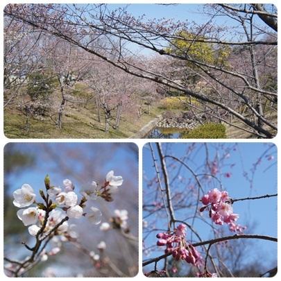 20120408 運動公園の桜(咲き始め)