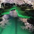 花見橋から 桜並木(曲水とカキツバタの若い芽)1