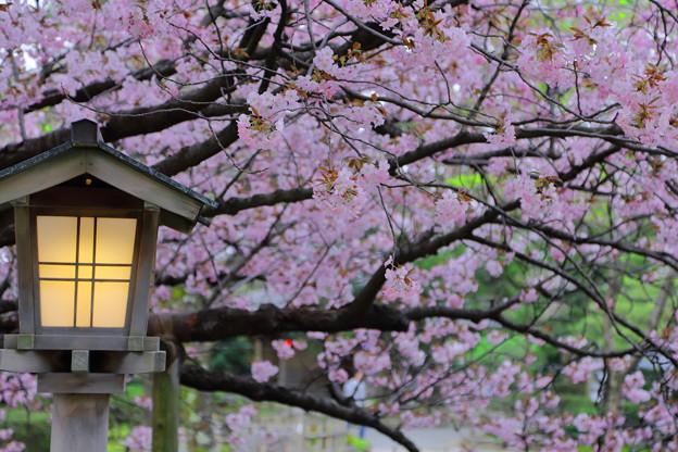 兼六園熊谷桜?