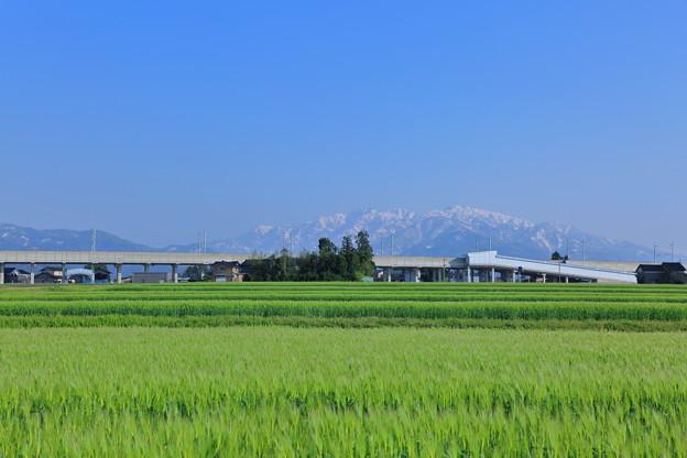 麦畑と山並み(駒ヶ岳と僧ヶ岳)