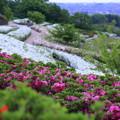 大乗寺丘陵公園 ツツジ(2)