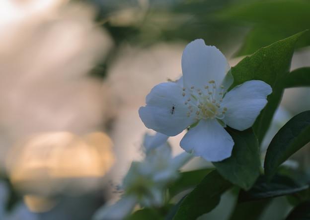 梅花空木(1)