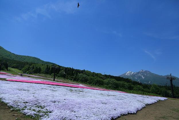 黒姫高原 芝桜と妙高山