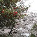 Photos: 椿と桜