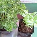 Photos: パセリとバジルの苗を買いました。