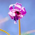 カタクリの花-4