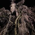桜`15(久遠寺編)-16