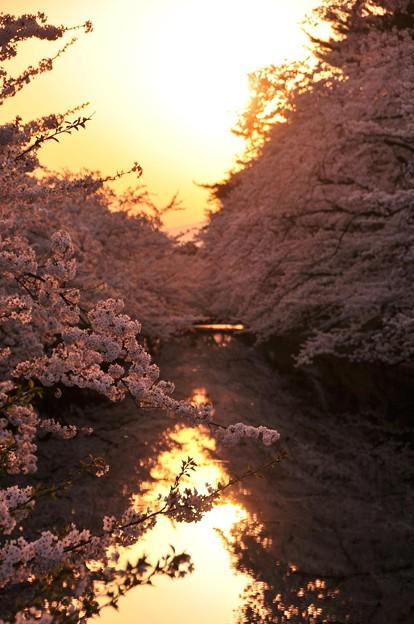 夕焼けに染まるほとりの桜・・?