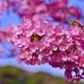 青空に映える綺麗な真ピンク色。。伊豆河津町 2月28日