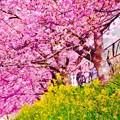 黄色い菜の花と真ピンク色の河津桜。。2月28日