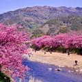 伊豆河津町の河津桜時期の風景。。2月28日