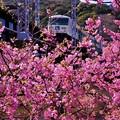 河津駅へ到着。。列車と河津桜。。2月28日