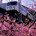 特急踊り子号185系と河津桜。。2月28日