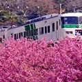特急踊り子号の車窓からも見える河津桜。。2月28日