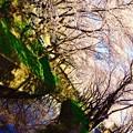 引地川のカーブに沿って並ぶ桜の木々。。3月31日