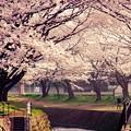 引地川の見事な千本桜。。。3月31日