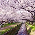 引地川を覆う桜のトンネル。。3月31日